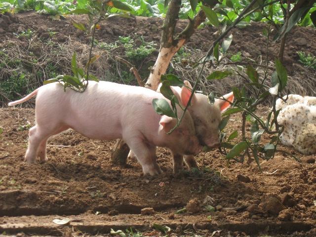 真猪版小猪仔