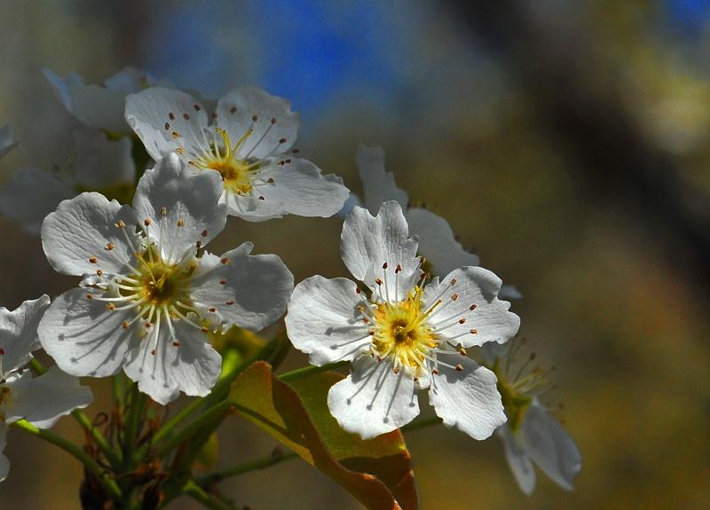 春天的花儿--梨花 (16p)
