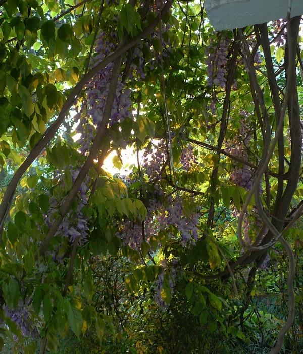 紫藤又名藤萝,朱藤,是优良的观花藤木植物,一般应用于园林棚架,适栽于