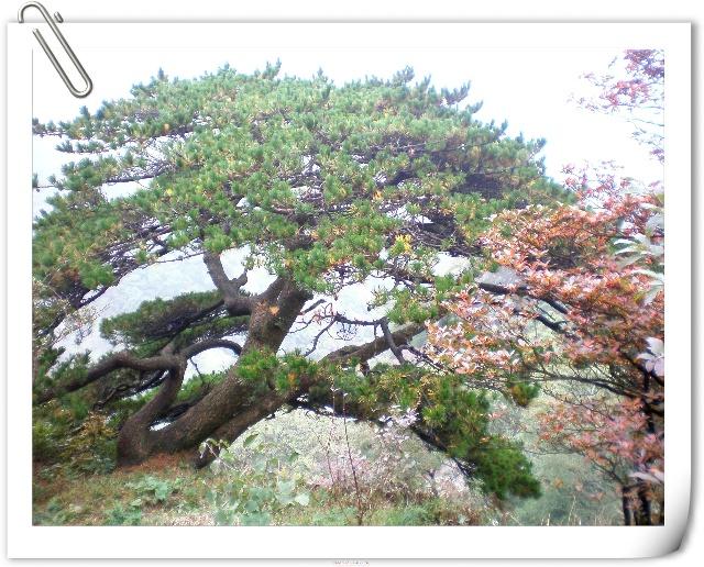 奇形怪状的松树是黄山最具特色的风景