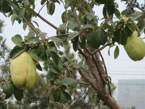 另一种是北方的宣木瓜,又叫皱皮木瓜.