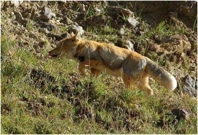 藏狐----方脸狐狸,高原猛兽-动物的心我懂-搜狐博客