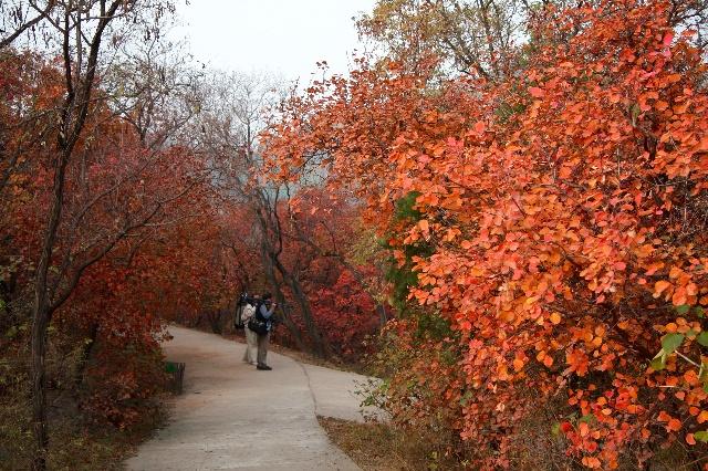 百望山森林公园交通方便,彩叶林面积大,是京城一处不错的秋游赏红叶