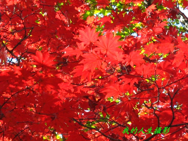 夕阳斜下,从好汉坡回望秋风里翩翩舞动的红叶,一种留恋挥之不