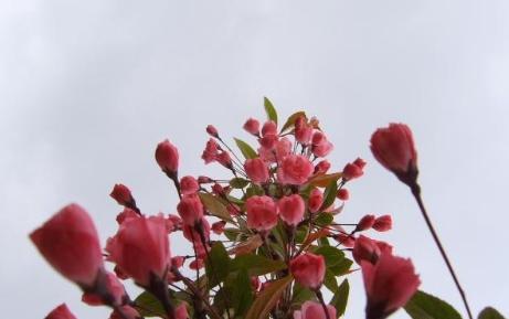 海棠类多为用于城市绿化,美化的观赏花木(虽然其中不乏果实有很高食用