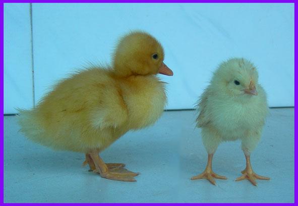 调皮的小鸭子和聪明的小鸡 我的两个新朋友小鸭子和小鸡,来到我们家后,过得很愉快。我给小鸭子和小鸡取了名字,小鸭子叫皮皮,小鸡叫聪聪,皮皮光追着聪聪跑。 只要我一把皮皮拿到箱子外面,它就不停地跑呀跑,跑到我找不到的地方,有时候还会钻到连他自己也出不来的小角落,然后就拼命地叫,我再把它救出来。出来后,还到处乱跑。 有时候皮皮还会故意捣乱,把盛水的小盘子打翻,搞的它和聪聪身上全是水,纸箱里也湿了一大片。皮皮它还一刻不停地叫,昨天晚上我刚说了它终于不叫了,它就又开始大声地叫,吵得我们都无法睡觉了。还有一次我刚说