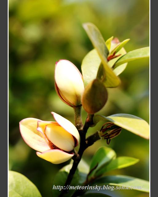 含笑树枝发芽图片