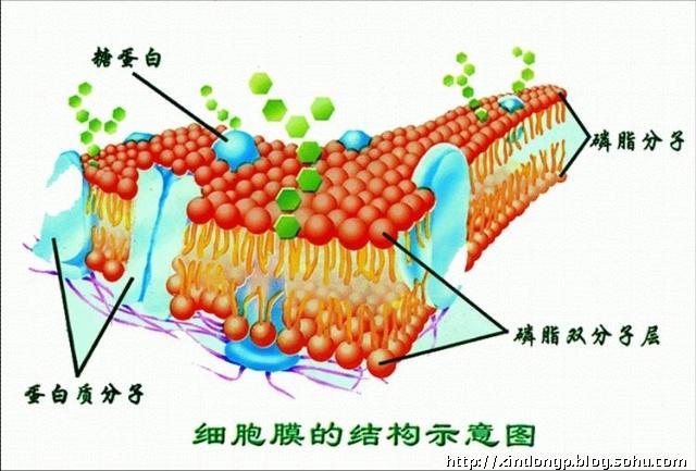 蛋白质和糖类    目前公认的细胞膜为:液态镶嵌模型.