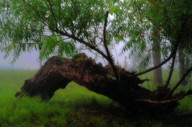 雾里看神树——靖边怪树林