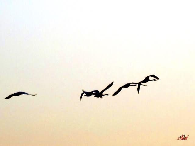 柔的大提琴曲《天鹅》,出自圣桑的管弦乐《动物狂欢节》.   《动物