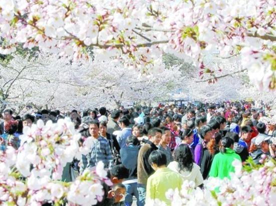 """诗意樱花 文/齐王天下 岛城春色渐浓的时候便不能没有樱花,据说青岛的樱花引进历史至今已有百年,仅中山公园内就有2万余株。在青岛的街头巷尾更是抬头不见低头见,处处都有樱花烂漫的倩影。 中山公园的樱花大道是青岛春天的一大景观,排列于公园南北主干道两侧绵延一里半的樱花路上千树万树樱花开,粉若霞,白如雪。置身于樱花大道沐浴着和煦的春风,枝头漫漫飘下花瓣雨,仿佛置身于一个粉妆红裹的童话世界。每当五一节前后,中山公园的樱花大道上便会游人如织,市民们涌入中山公园赏樱花迎春归,大街小巷里""""出门俱是看花人&rd"""
