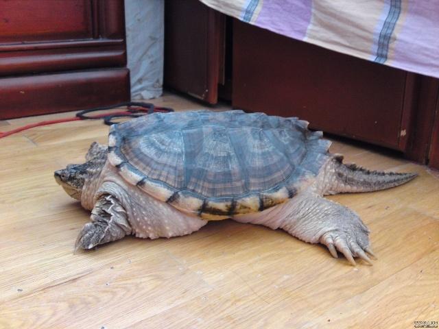 36公斤真鳄龟当宠物-大杂烩-搜狐博客